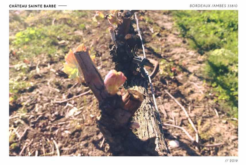 vigne bourgeon